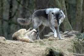 grey wolf size 387890 3008x2000px grey wolf 14 03 2016