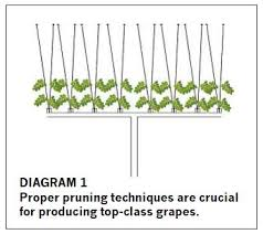 Fruit Production The Basics Of Pruning Grapes African Farming