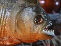Facts About Piranhas Live Science