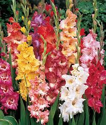 Small Picture Fordhook Ruffled Pastel Mix Gladiolus Seeds and Plants Annual