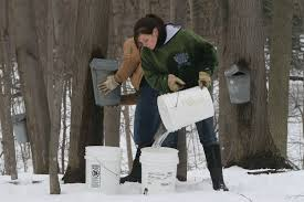 How Much Sap Can One Tree Produce New York State Maple