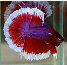 Betta Genetics Chart Betta Colors Patterns Betta Source