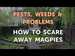 how to scare away magpies you