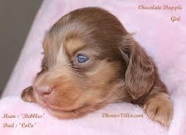 chocolate miniature dachshund black n