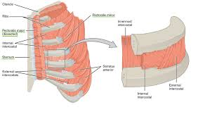 Your pectoralis major and pectoralis minor muscles make up most of the muscle mass in your chest. Thoracic And Abdominal Muscles Lecturio Online Medical Library