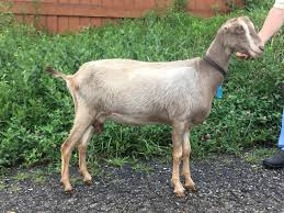 Goats For Sale Indiana Adga Lamancha Dairy Doe Juno Doe