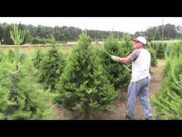 Pruning Christmas trees with Rotary Knife - YouTube