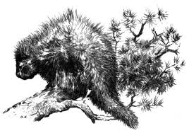 Small Picture Free Porcupine Coloring Pages