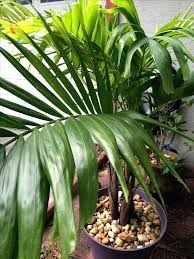 patio palm tree patio palm tree palm tree patio palm tree patio palm trees uk patio palm tree