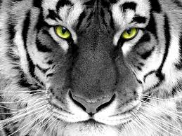 white tiger wallpaper desktop. Unique Wallpaper White Tiger Exclusive HD Wallpapers  Throughout Wallpaper Desktop Cave