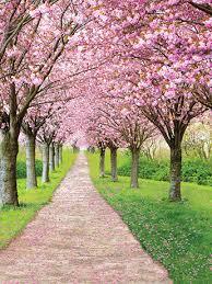 Cherry Blossom Backdrop Cherry Blossoms Backdrop Photo Backgrounds Denny Mfg