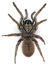 Sydney Brown Trapdoor Spider The Australian Museum