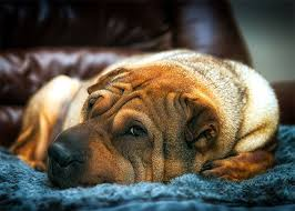 Chinese Shar Pei Dog Breed Information Pictures