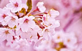 Free Download Cherry Blossom Ppt Backgrounds For Your