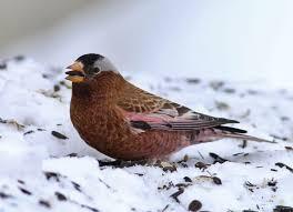 Snow Birds: 10 Birds to Look for in Winter
