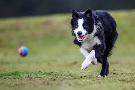 Image result for dog chasing ball