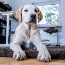 bringing home a puppy with limited square fooe here s some essential tips on how to prep your condo for your pup