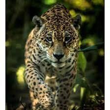 Jaguar Adoption Kit Rare Cats Jaguar Habitat Spotted Cat