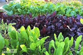 garden greens. Grow A Variety Of Leafy Greens For Beautiful Homegrown Salads. Garden