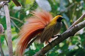 Goldie's Bird of Paradise