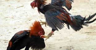 Image result for sabung ayam