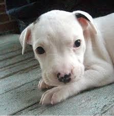 pitbull dog puppies white.  Pitbull White Pit Bull Pup With Small Black Spotsjpg To Pitbull Dog Puppies White T