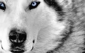 dog blue eyes 1