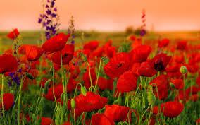 Red Flower Wallpaper Poppys Red Flowers Wallpaper Png Transparent Best Stock Photos