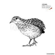Vector Hand Drawn Set Of Farm Animals Isolated Quail Bird
