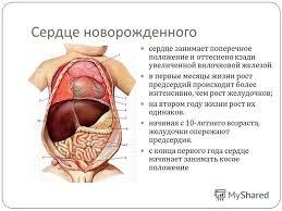 Презентация на тему Возрастные особенности сердечно сосудистой  5 Сердце новорожденного