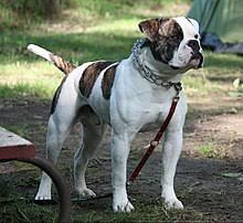 American Bulldog Height Chart American Bulldog Wikipedia