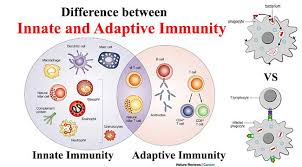 Immune System Cells Chart Difference Between Innate And Adaptive Immunity