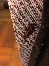 bed bug infestation in a couch
