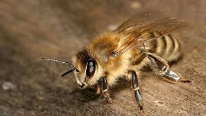 How To Identify Different Types Of Bees Mnn Mother