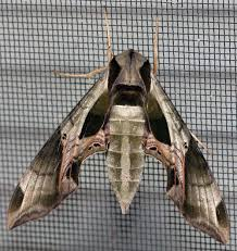Moth Identification Chart Common Large Moths Texas Insect Identification Tools