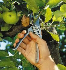 How To Prune Fruit Trees  Martinborough  EventfindaPrune Fruit Tree