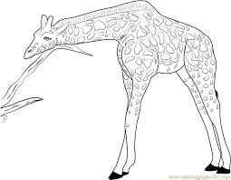 Giraffe Relaxing Coloring Page Free Giraffe Coloring Pages