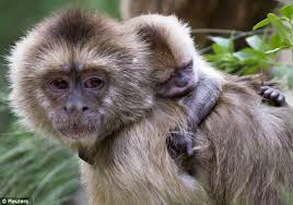 real jungle animals monkeys. Brilliant Animals Monkey Love It Is Believed That The Monkeys Who Took Care Of Marina  Chapman In And Real Jungle Animals Monkeys G