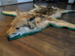 wolf skin rug with full head mount taxidermy rare antique