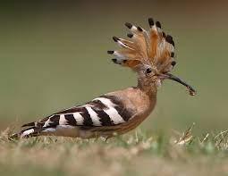 AVIS-IBIS   Birds of Indian Subcontinent