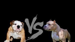 pitbull dog vs bulldog. Modren Dog Pitbull Vs Bulldog  Duelo Mortal Intended Dog Vs Bulldog N