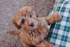 goldendoodle a poodle and a crossbreed