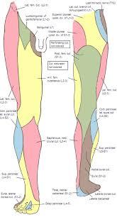 Leg Wikipedia Cutaneous Innervation Of The Lower Limbs Wikipedia