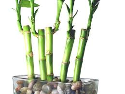 bamboo house plant step 1 bamboo house plant leaves turning yellow