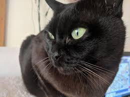 Burmese Kitten Weight Chart Burmese Cat Wikipedia