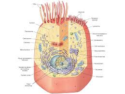 Vesicle, dynamics during, plant, cell, cytokinesis reveals