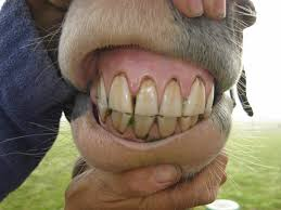 people with horse teeth. Plain Horse Something To Chew On Everything You Need Know About A Horseu0027s Teeth Intended People With Horse Teeth D