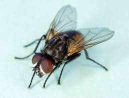 Fly Fishing Fly Identification Chart Housefly Wikipedia