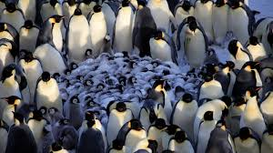 emperor penguin huddle. Beautiful Huddle For Emperor Penguin Huddle