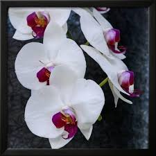 white orchid blooms framed print wall art by anna miller on white orchid framed wall art with white orchid blooms framed print wall art by anna miller walmart